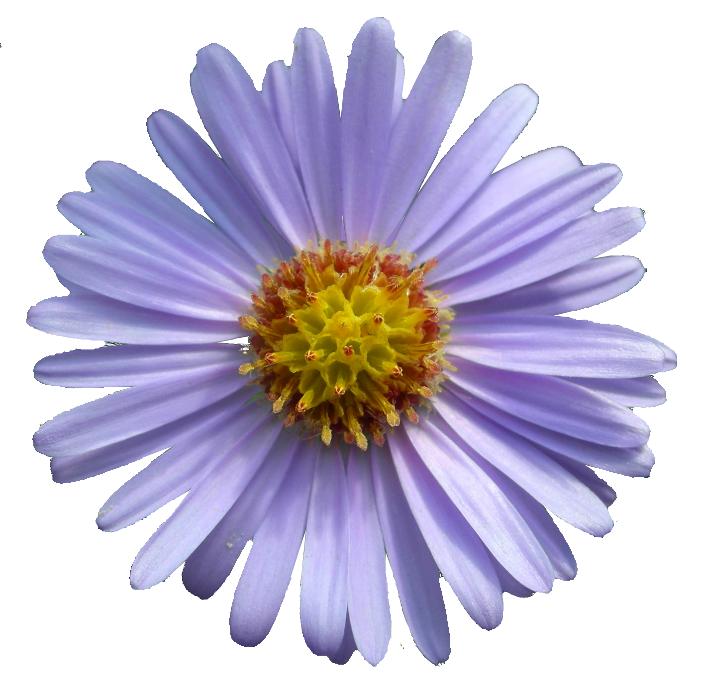 Asters Flowers Care Aster Genus Flower
