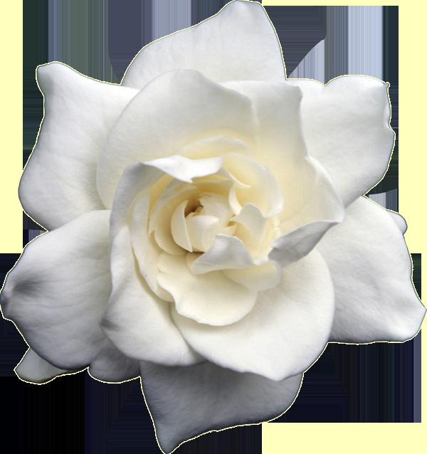 Flowers gardenia mightylinksfo