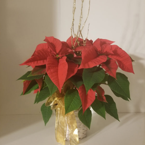 Small christmas poinsettia mightylinksfo