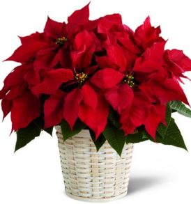 Christmas Large Poinsettia