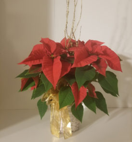 Small Christmas Poinsettia