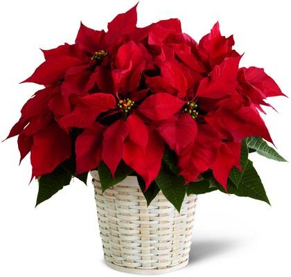Christmas Large Poinsettia